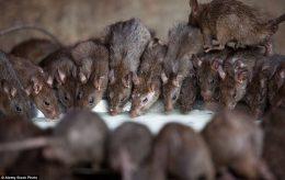 Anstendige Cecilia og de brune rottene